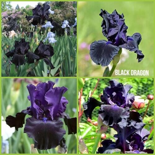 Iris germanica Black Dragon