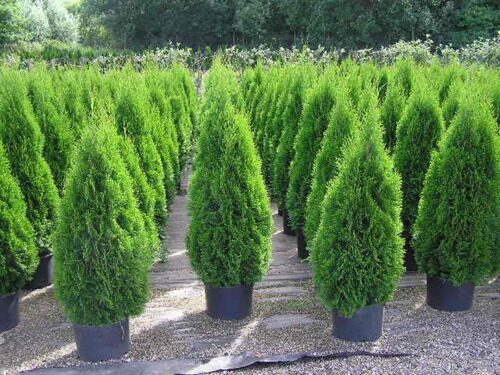 Туя «Смарагд» Thuja occidentalis Smaragd